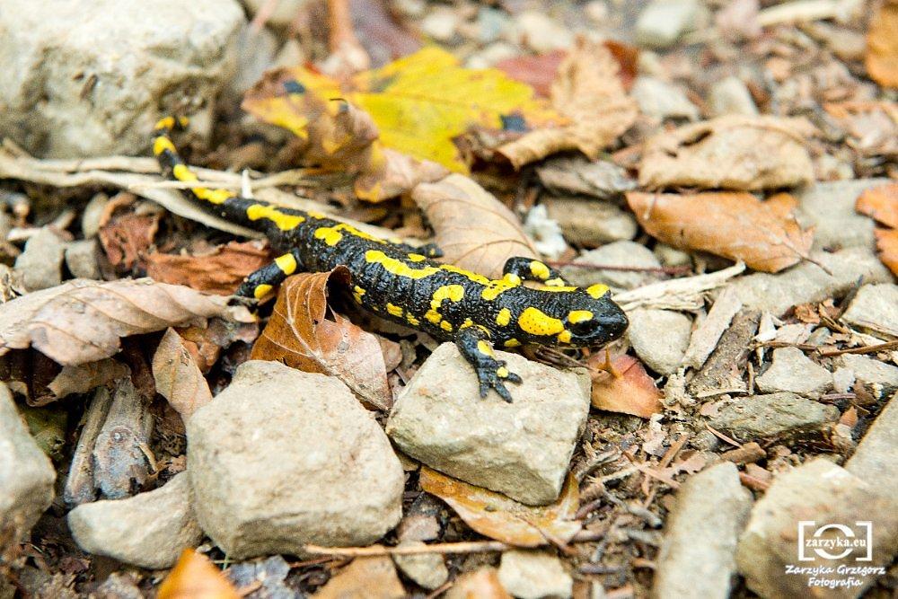 Salamandra-plamista-w-Beskidzie.JPG